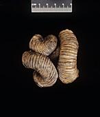 Nipponites ammonite fossil