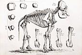 1812 African Elephant skeleton