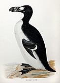 1852 Extinct Great Auk flightless bird