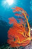 Red sea fan