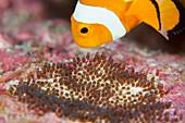False clown anemonefish tending its eggs