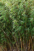 Fargesia robusta 'Wolong'
