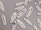 Paramecium protozoa,light micrograph