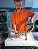 Nile crocodile,skin examination