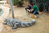 Collecting eggs from a Nile crocodile