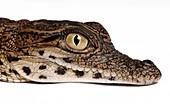 Head of a young Nile crocodile