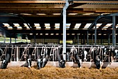 Dairy cattle farming