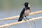 A Hooded Crow (Corvus cornix)