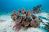 Giant Clam (Tridacna squamosa)