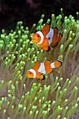 Clownfish (Amphiprion percula)