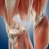 Knee anatomy,artwork