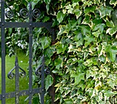 Common Ivy (Hedera helix 'Goldchild')