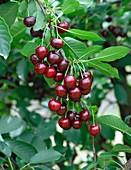 Sour Cherry (Prunus cerasus 'Achat')