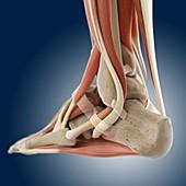 Foot anatomy,artwork