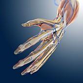 Hand anatomy,artwork