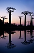 Baobab (Adansonia digitata) trees