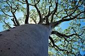 Baobab (Adansonia digitata) tree