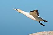 Cape gannet taking off