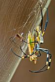 Golden orb-weaver spider and prey