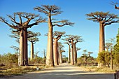 Alley of the Baobabs,Madagascar