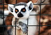 Captive bred Ring-tailed Lemur