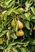 Pear (Pyrus communis)