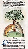 Boars fighting,15th century