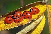 Seven-spot ladybirds on a leaf
