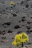 Canary Island pines on lava field