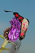 Six-spot burnet moths mating