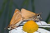 Small skipper butterflies mating