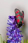Six-spot burnet moth on vetch flowers