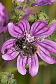 Honeybee pollinating common mallow flower