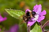 Bumblebee on hairy willowherb