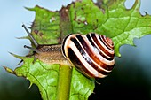 Garden snail on a leaf