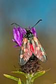 Six-spot burnet moth on common knapweed