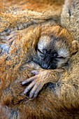 Red-fronted lemur baby