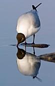 Black-headed gull drinking