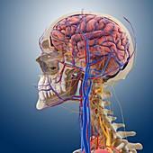 Head and neck anatomy,artwork