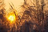 Reeds at dawn