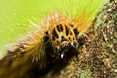 Moth caterpillar,Borneo