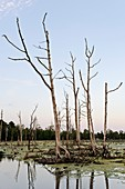 Cleared mangrove swamp,Indonesia