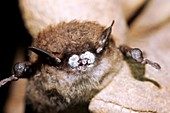 White nose syndrome in bats