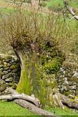 Pollarded Alder tree showing regrowth