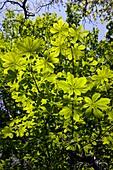 Horse chestnut (Aesculus hippocastnum)
