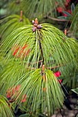Pine (Pinus patula)