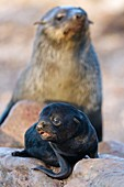 Cape fur seal pup and adult