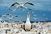 Cape gannets taking off at colony