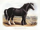Old English Black Horse,19th century