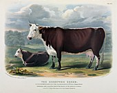 Hereford Cattle,19th century